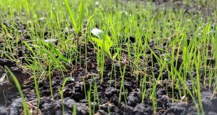 grass-seeds-groom-lawn
