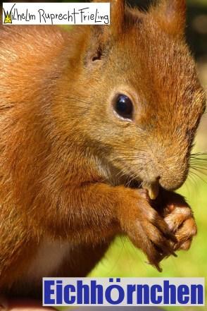 Eichhörnchen • Ein Bilderbuch