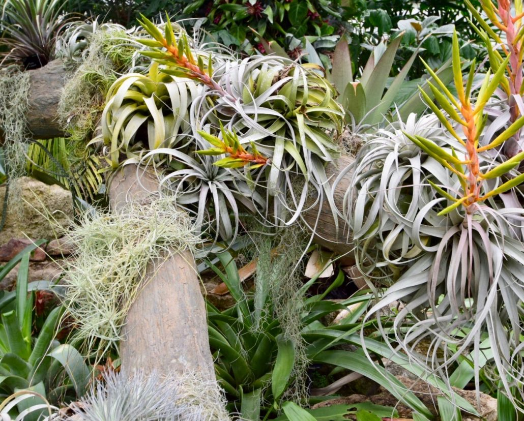 Epiphytes grow on other plants. The get water and nutrients from the air and rain.