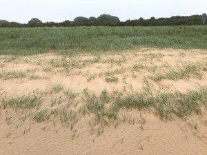 Vegetation succession at Donna Nook sand dunes