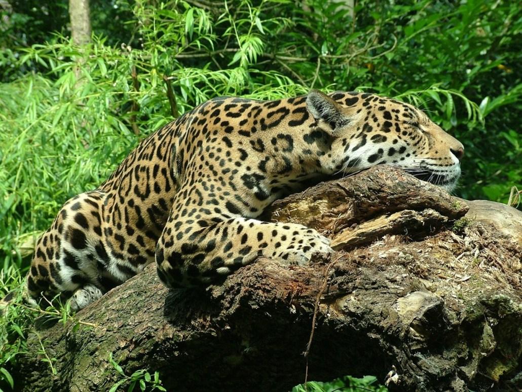 A resting jaguar