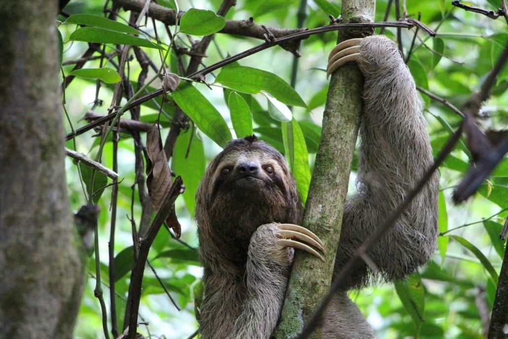 A three toed sloth