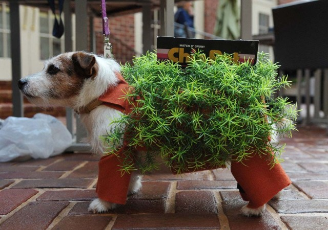 "Bubbles the Jack Russell Terrier is dressed as a chia pet plant during the ""Doggie Howl-o-ween Costume Contest"""
