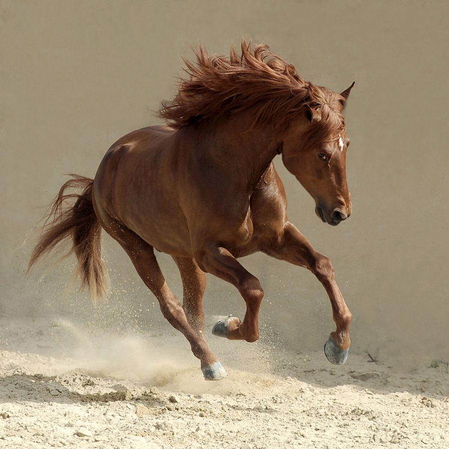 Beautiful-Horse-Running-Horses Photography