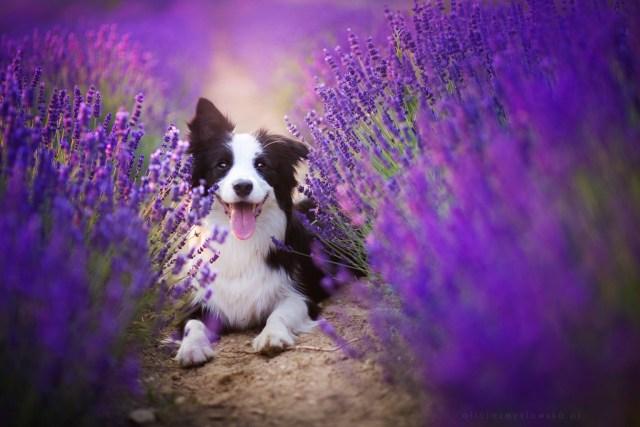 Dog Portraits Photography by Alicja Zmysłowska (9)