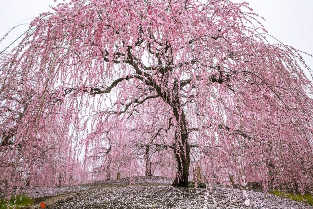 Sakura bloom Photography by Hidenobu Suzuki
