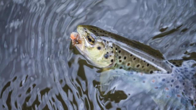 Fly fishing Trout