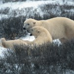 The polar bear capital of the world.