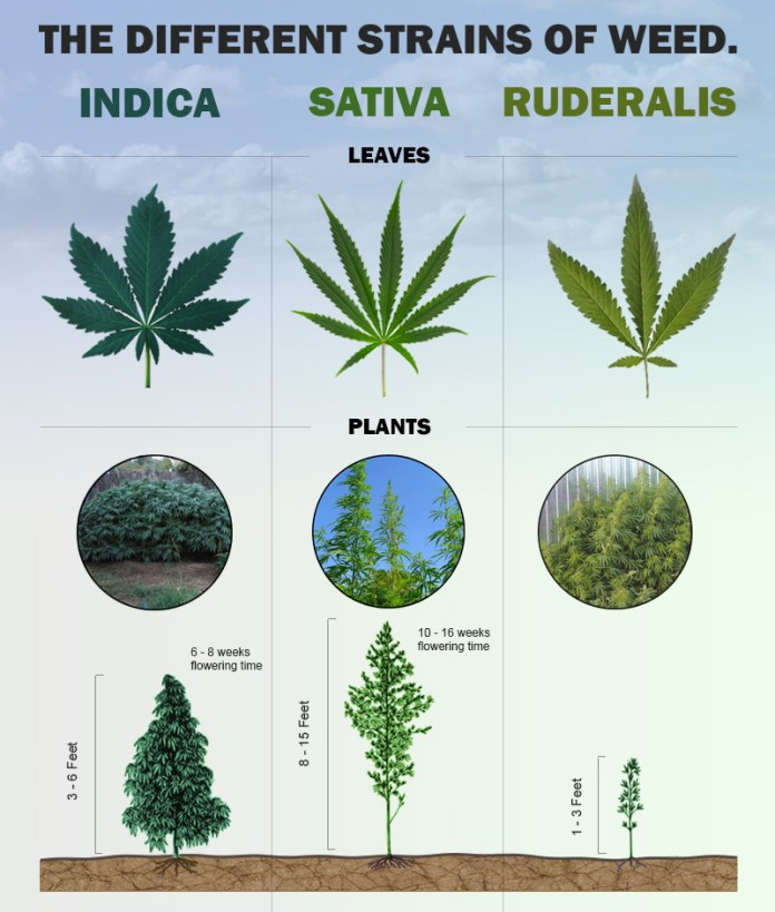The-different-types-of-weed