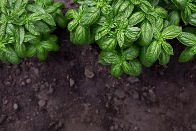 Italian Garden Plants