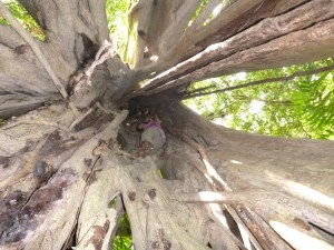 The strangler fig is empty because the tree it grew around died and rotted away.  This left space for Zoe to climb in.
