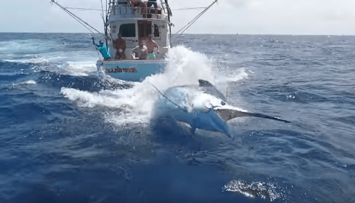 Awesome Cairns Black Marlin Footage