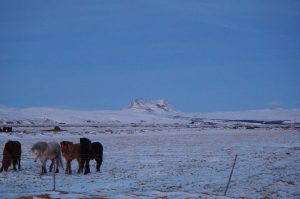 iceland ponies