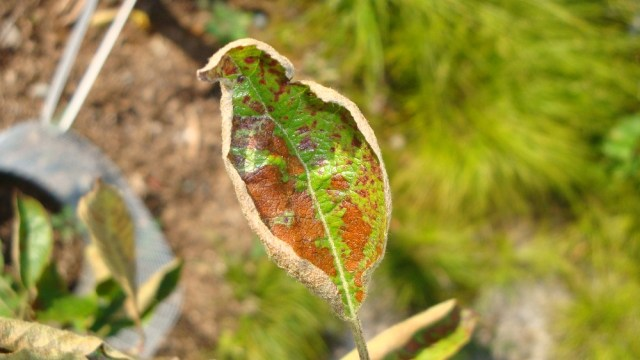 Sad Looking Apple Leaf