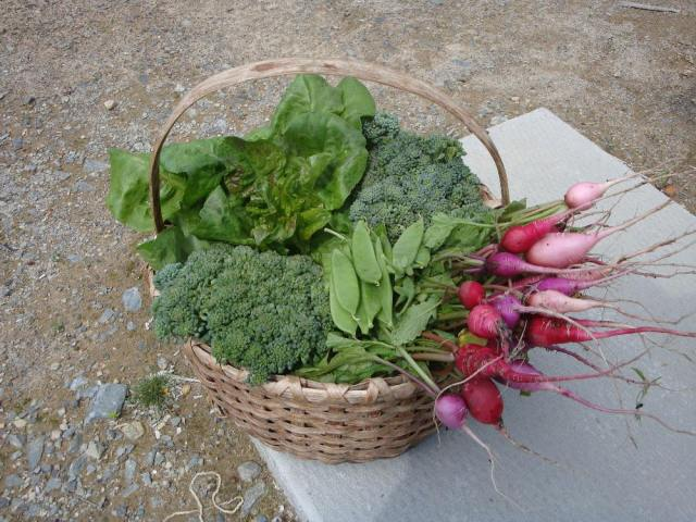 Basket of Fresh Picked Vegetables