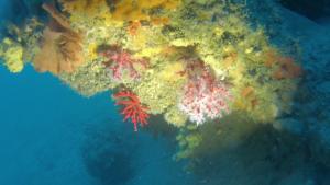 Corallo Rosso - Corallium Rubrum