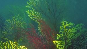 Il falso corallo nero -Savalia savaglia - false black coral