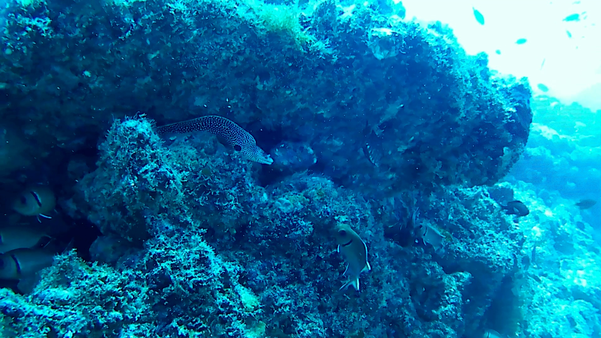 Laced moray intotheblue.it