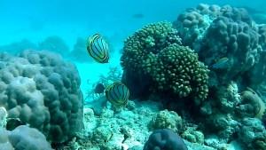Scrawled Butterflyfish - Chaetodon meyeri