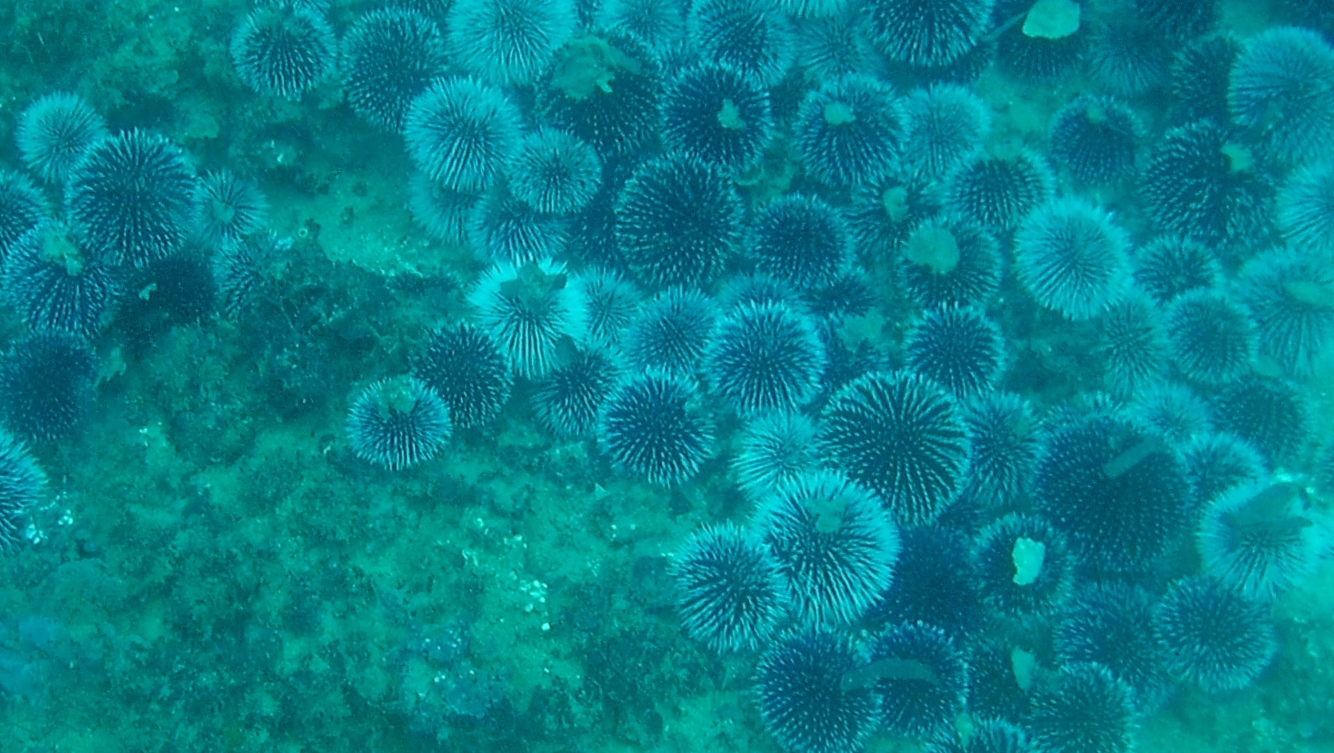 Reproduction of sea urchins - intotheblue.it