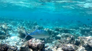 The Bluefin Trevally
