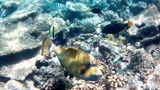 Pesce Balestra Titano
