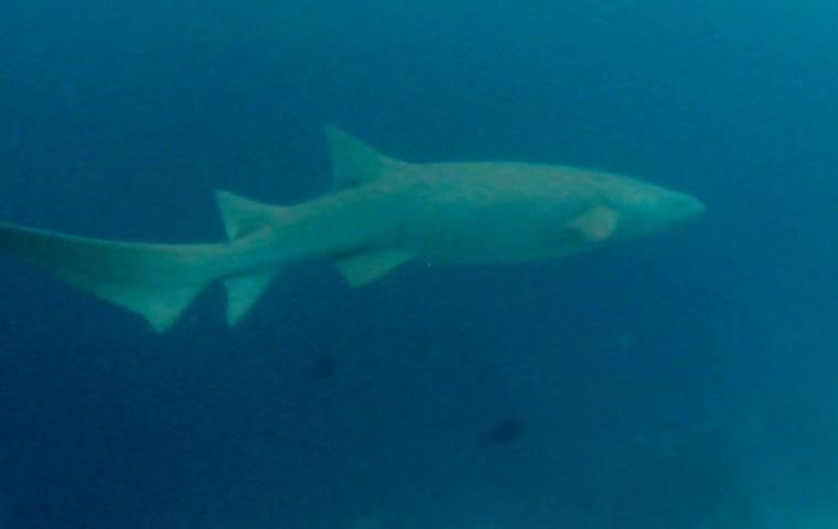 squalo nutrice nurse shark intotheblue.it