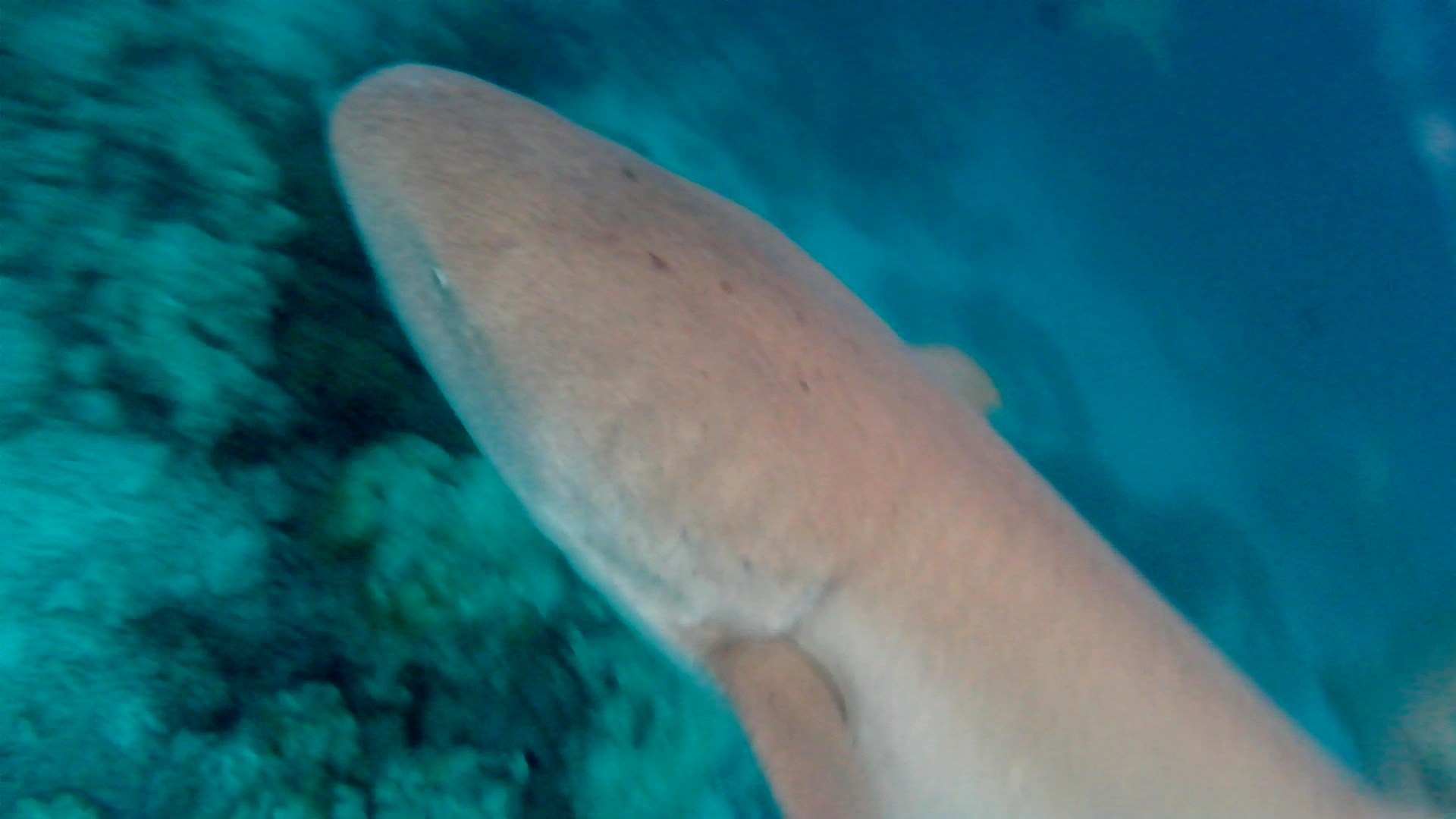 squalo nutrice nurse shark intotheblue.it
