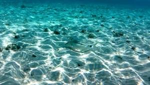 triglia linea-punto - dash-and-dot goatfish