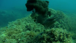 Polpo Octopus vulgaris Mar mediterraneo intotheblue.it