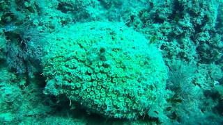 Cushion Coral