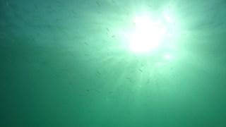 Big-scale sand smeltAtherina boyeri