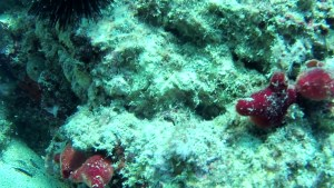 Ascidia viola - Halocynthia papillosa - red sea Squirt - intotheblue.it