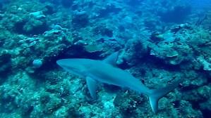 Squalo Grigio - Carcharhinus plumbeus