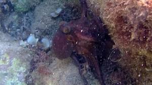 Polpo comune - Octopus vulgaris - intotheblue.it