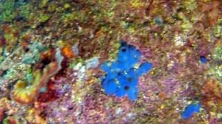 Spugna Blu - Phorbas Tenacior