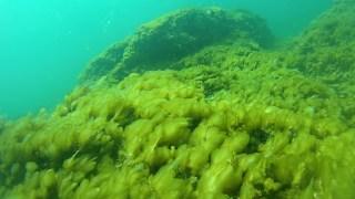 Mucilage Cyanobacteria Oscillatoriales Algae