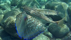 Rondine di Mare Pesce civetta - Dactylopterus volitans