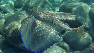Flying Gurnard - Dactylopterus volitans