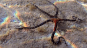 Stella Serpentina Liscia - Ofiura - Ophioderma Longicauda