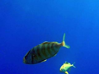 Caranx Crysos Curiosi In Visita Al Sub In Decompressione - Caranx Crysos Fishs Curious Visit The Diver In Decompression - Intotheblue.it