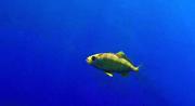 Carango Mediterraneo o Carango Dorato - Caranx Crysos