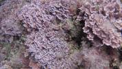 Alga Corallina - Officinalis Caespitosa