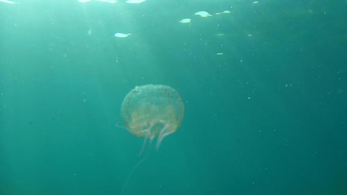 Medusa Olindias Phosphorica Jellyfish intotheblue.it