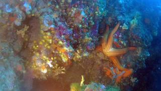 TheMediterranean red Starfish