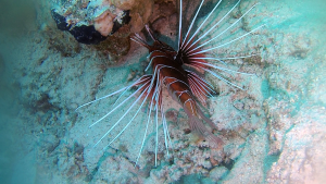 Scorpion fish or Lionfish - Pterois volitans