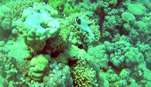 Pesce Palla Mascherato- Arothron diadematus