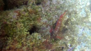 Bavosa Rossa Lipophrys nigriceps Red Blenny intotheblue.it