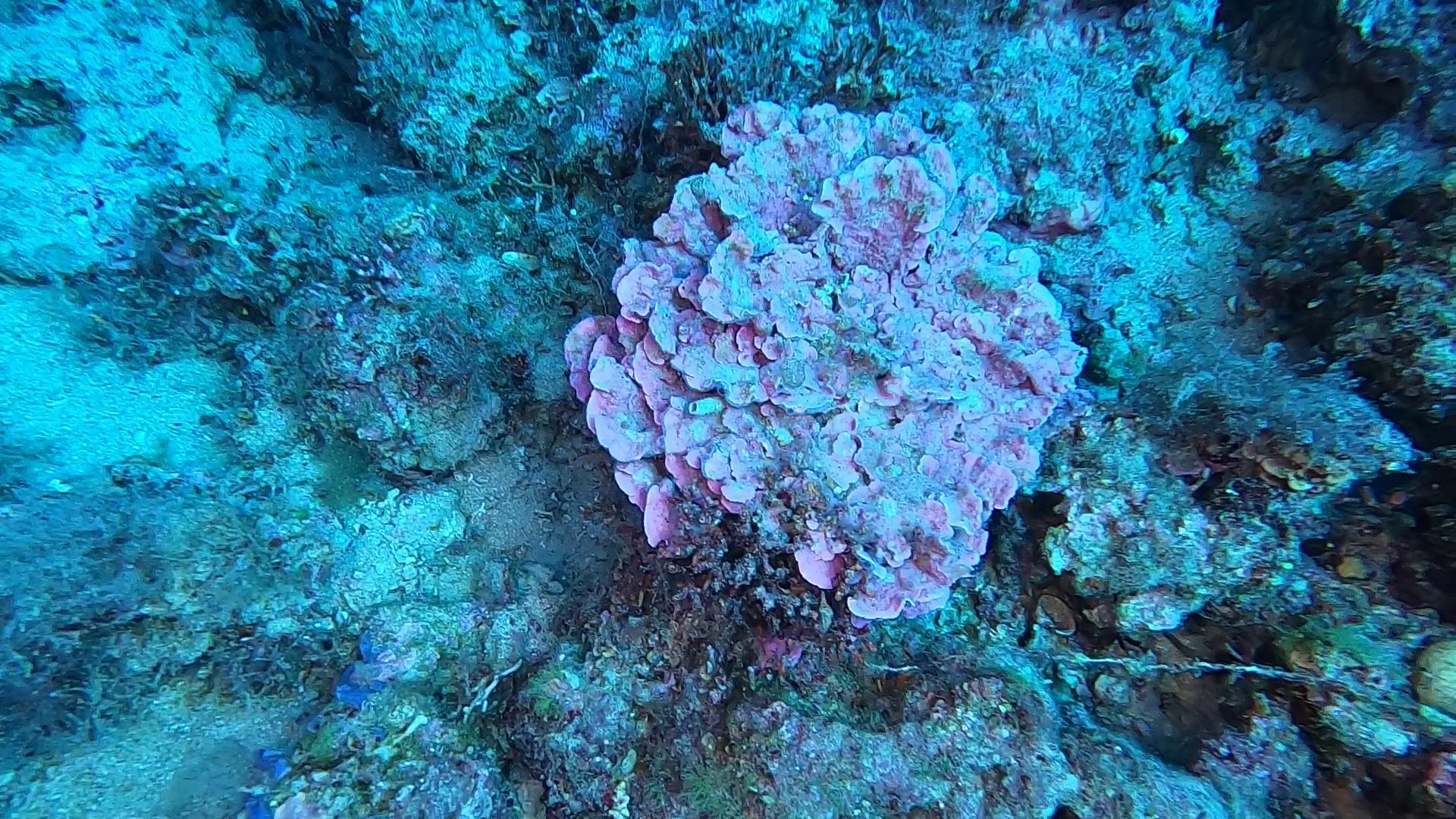 Alga corallina -  Lithophyllum stictiforme