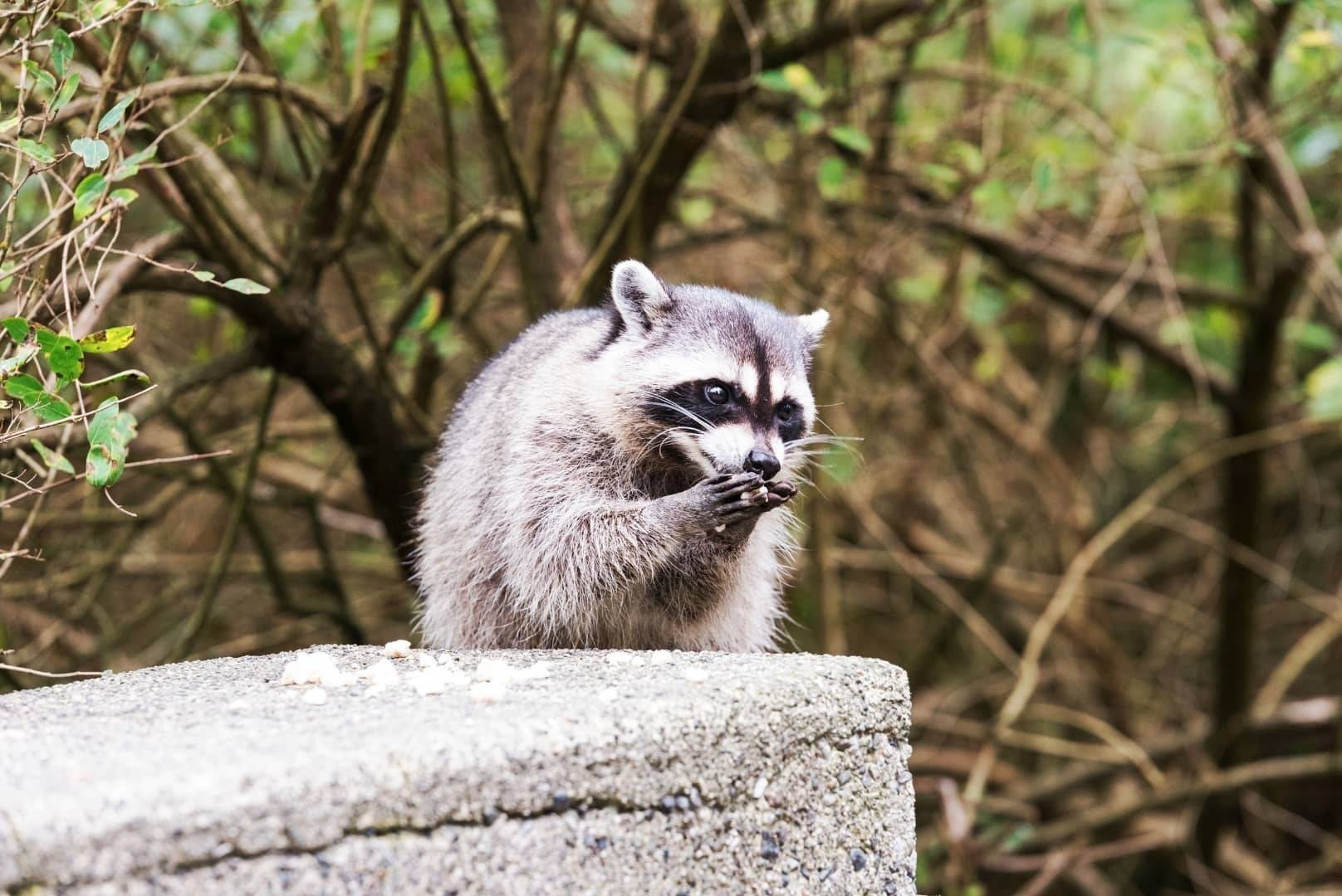 Do Raccoons Eat Squirrels Here's How & When...